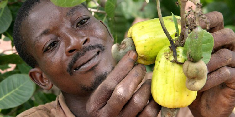 Cashew farmers lament huge financial losses due to Covid-19 pandemic bribi 750x375