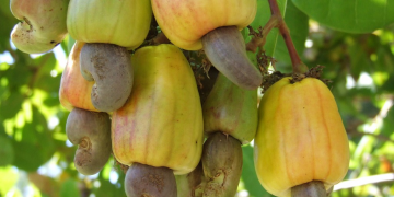 cashew-norvanreports Ghana's strong growth prospects affirmed by Moody's and S&P credit rating - Finance Ministry Ghana's economy shows strong growth prospects – Finance Ministry cashew norvanreports 360x180