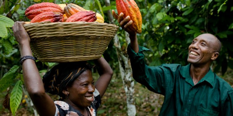 cocoa exports: eu denies targeting ghana in new legislation Cocoa Exports: EU denies targeting Ghana in new legislation cocoa farmers 750x375