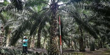 A Palm Oil Plantation in Malaysia - norvanreports  The climate issue A Palm Oil Plantation in Malaysia norvanreports 360x180