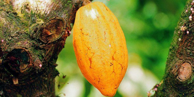 cocoa bills: cocobod raise ghs 11 billion to finance cocoa beans purchases Cocoa Bills: COCOBOD raise Ghs 11 billion to finance cocoa beans purchases KB 021 1 e1532977831854 750x375