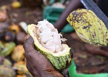 Agriculture leads, services and industry sectors with 4.3% growth in H1 2021 cocoa 350x250