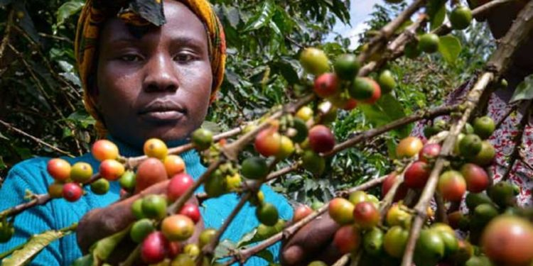 Frost in Brazil boosts Kenyan coffee prices Frost in Brazil boosts Kenyan coffee prices coffee 750x375