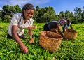 African women plucking tea leaves on plantation in Kenya, Africa.  Home istockphoto 2 120x86  Home istockphoto 2 120x86