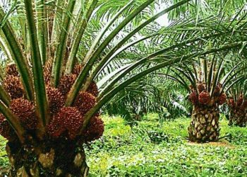 Local palm oil industry adds voice to scrapping of 50% benchmark value policy Local palm oil industry adds voice to scrapping of 50% benchmark value policy palm 350x250